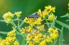 A Ctenucha Moth on Grass-leaved Goldenrod