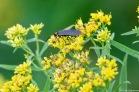 A Ctenucha Moth on Grass-leaved Goldenrod