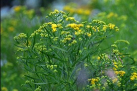 Grass-leaved goldenrod is really an aster, despite its common name.