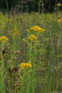 Stiff Goldenrod (Solidago rigida) with its fancy stalk lined with oval leaves