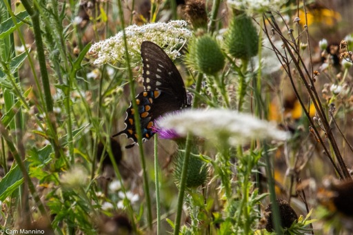 Just like other swallowtails, the Black Swallowtail makes the most of bull thistles that thrived this year.