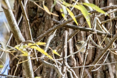 A Golden-crowned Kinglet in the willows by Gallagher Creek
