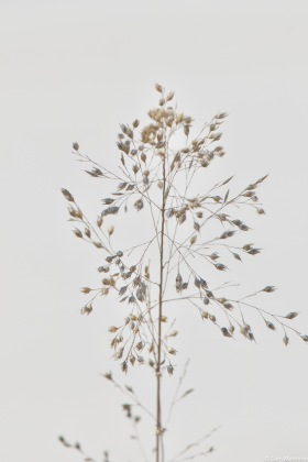 The graceful seed heads of Prairie Dropseed dance and bob in the slightest breeze.