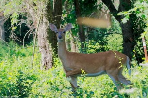 200 deaths each year in the US are caused by deer collisions. Photo by Cam Mannino