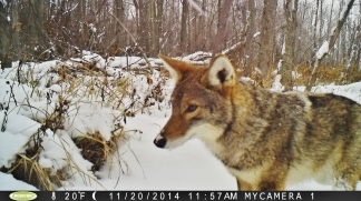 Only 2 human deaths by coyote have EVER been documented in North America. Photo by Jonathan Schechter)