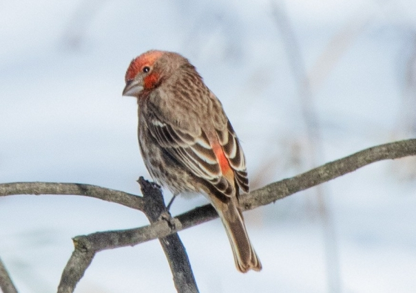 house-finch-male-bc.jpg