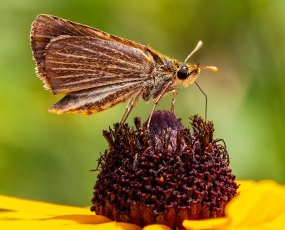 Poweshiek Skipperling butterfly on black-eyed susan