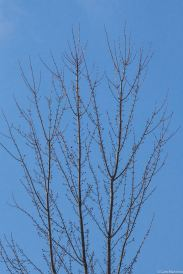 Silver Maples red buds against a clear blue sky in March