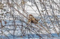 A tree sparrow stayed near the ground, under weeds, as an icy wind ruffled its crown.