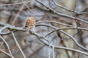 Look for the pinkish beak and legs to identify a Field Sparrow.