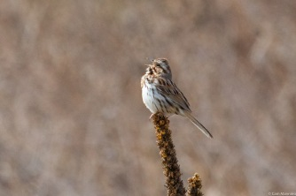The male Song Sparrow throws back his head back and sings!