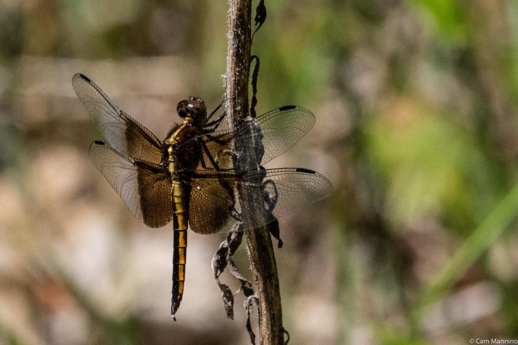 Widow skimmer female or juvenile 2 BHEA