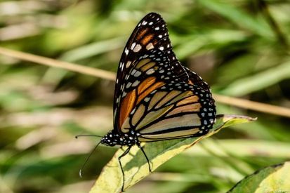 This female Monarch may be resting before the long journey to Mexico.
