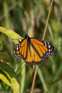 The bumps on the hingwing veins mean this is a male Monarch.