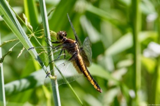 A female or juvenile Widow Skimmer (Libellula luctuosa)