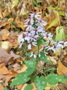 Blue Wood/Heart-leaved Aster added their bit of color to the hill trail at Lost Lake.