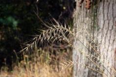 Bottlebrush disperses its seeds on arrow-shaped awns.