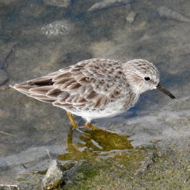 Least Sandpiper by jmaley at inaturalist.org [Public Domain]