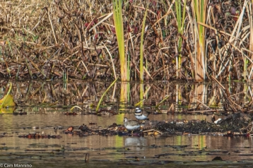 A Least Sandpiper and Killdeer on the far edge of Lost Lake
