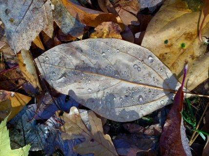 An unlobed Sassafras leaf