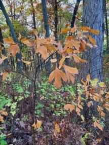 Sassafras saplings on the sledding hill at Lost Lake