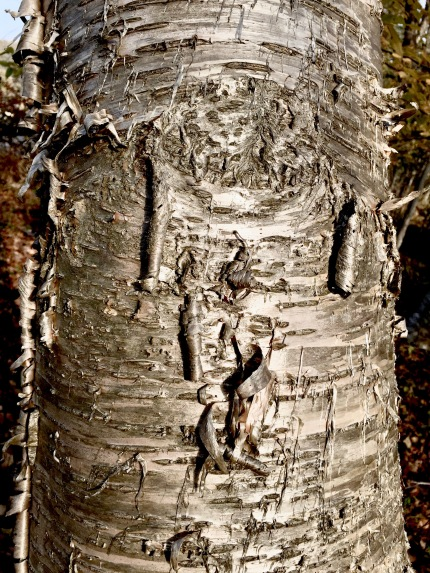 The bronze bark of the Yellow Birch turns silver in bright sunlight.
